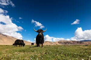 A yak looking to the camera