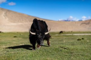 A yak on the meadow